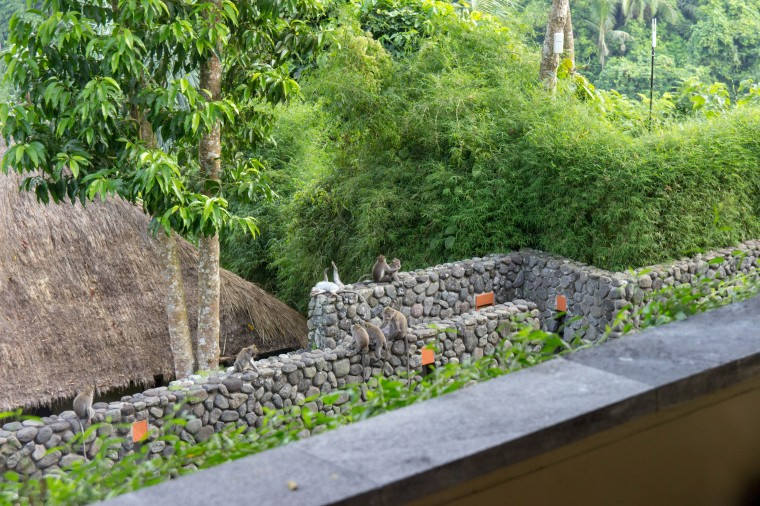 ubud-hotel-monkeys
